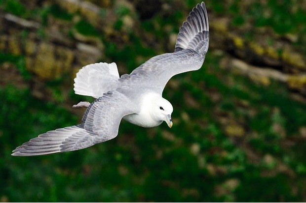 Fulmar (Fulmarus glacialis) flying into the wind by clifftop, Duncansby Head, Caithness, Scotland, June