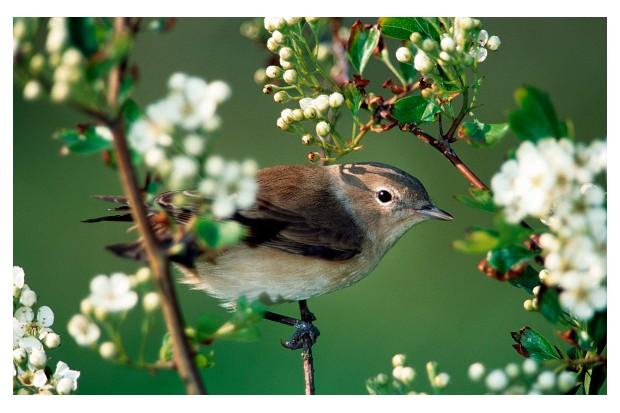 Garden Warbler (Sylvia borin) perched in tree in spring. (Photo by: Arterra/UIG via Getty Images)