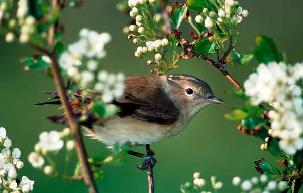 Garden Warbler (Sylvia borin) perched in tree in spring. (Photo by: Arterra/UIG via Getty Images)
