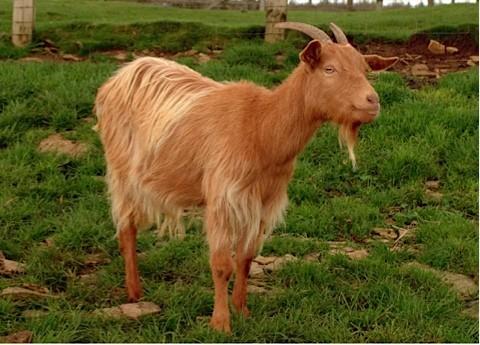 goat_m-07dbd64