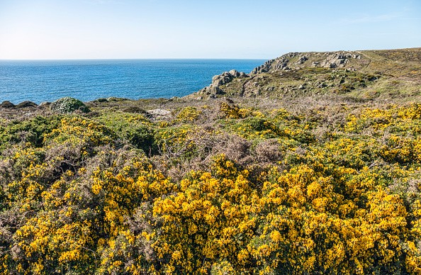 LANDS END, CORNWALL, UNITED KINGDOM - 2015/05/21: (EDITORS NOTE: A polarizing filter was used to produce this image.) Yellow Gorse flower in a scenic coastal landscape at Lands End. (Photo by Olaf Protze/LightRocket via Getty Images)