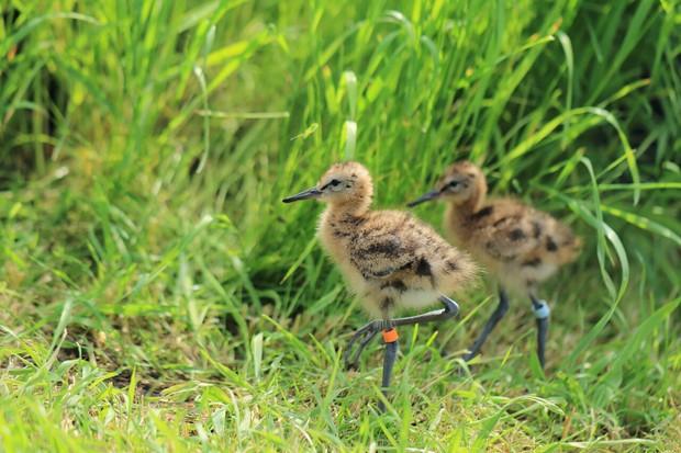 black-tailed godwit chicks