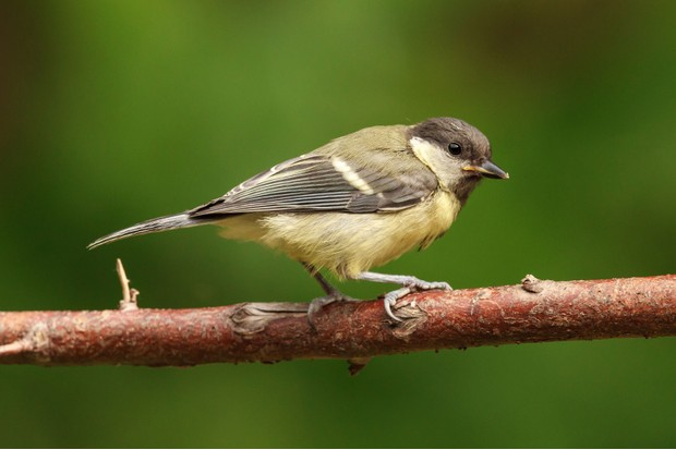 great-tit-e47b07c