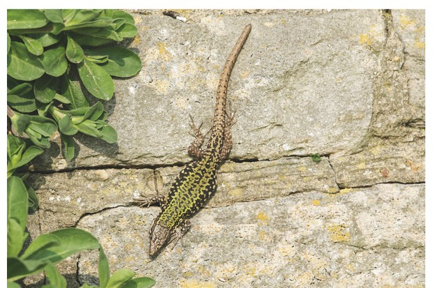 Green wall lizards bask in the sun