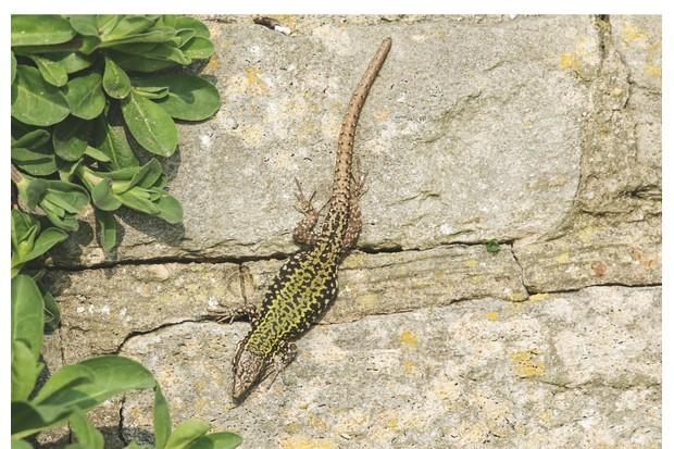 Green wall lizards bask in the sun