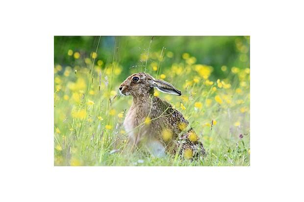 EYENXY European Brown hare Lepus europaeus grazing in a meadow, England, UK