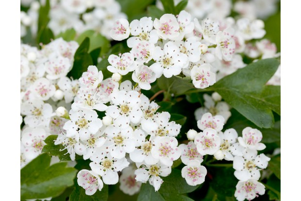 How to identify spring blossom countryfile hawthorn 834c5e5 mightylinksfo
