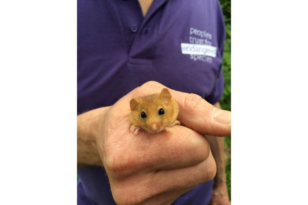 hazel-dormouse-in-hand-credit-PTES-28229-99b15ca