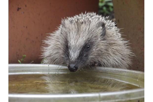 hedgehog-Michael-Partridge-fa35d2e