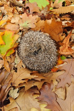 hedgehog3-0c09671