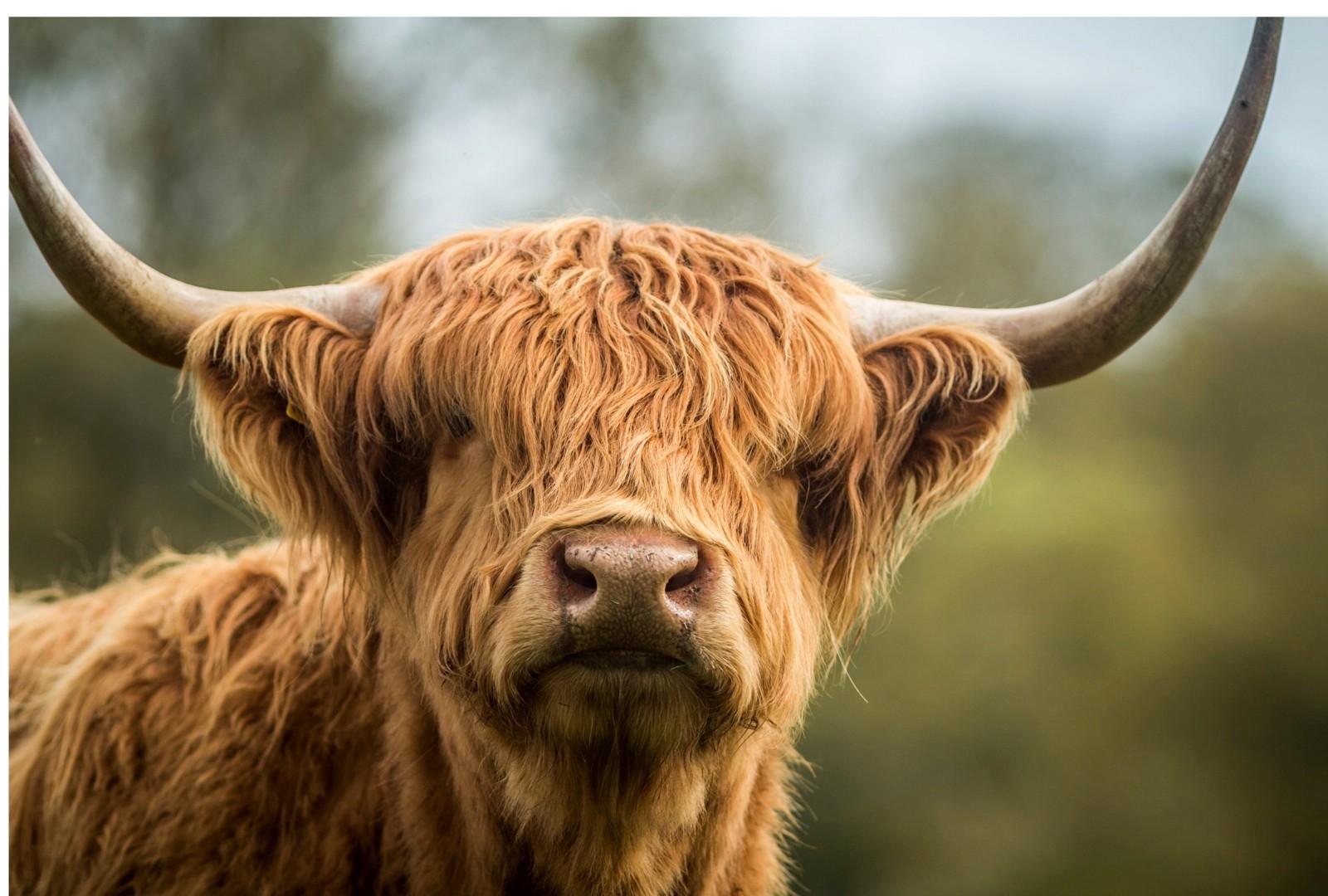 highland-cow-0378d33
