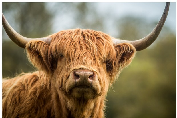 highland cow can endure harsh weather conditions ©Getty