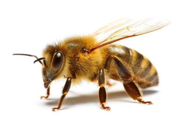 honeybee-4a6f00a