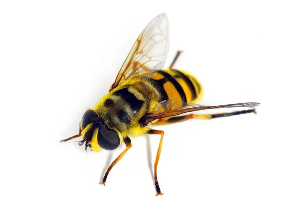 hoverfly-d0bb8f5