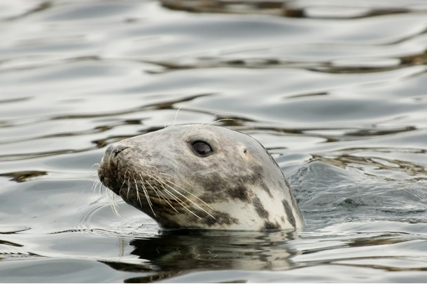 swimming seal at the Farne Islands