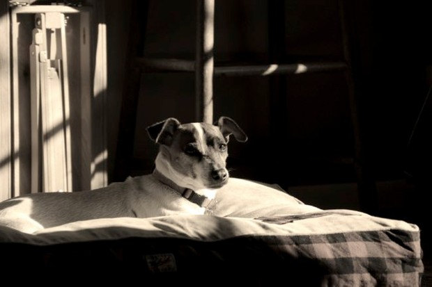 Jack Russell Terrier Senior in a cozy room