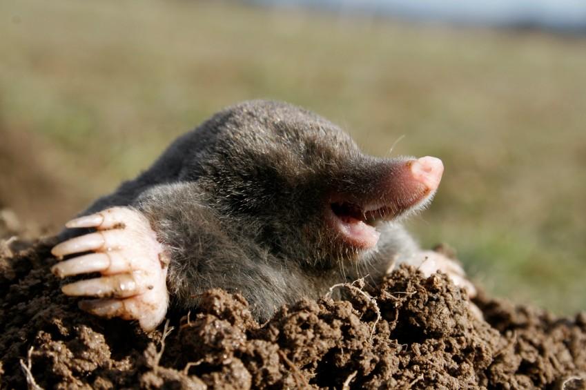 black mole in open air, molehill