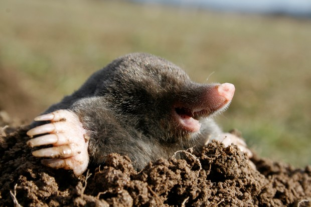 black mole in open air, molehill
