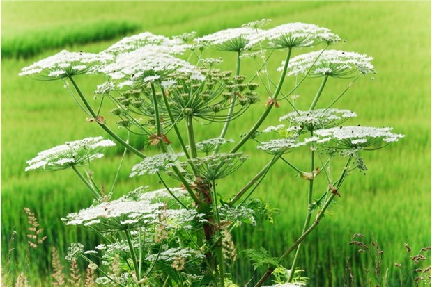 Giant Hogweed against an out of focus green field.  No friend to gardeners and conservationists , it is much loved by beekeepers (some of whose flock can be seen hard at work on the flowers). This Canon EOS-1D Mk IV image offers a very generous XL size.