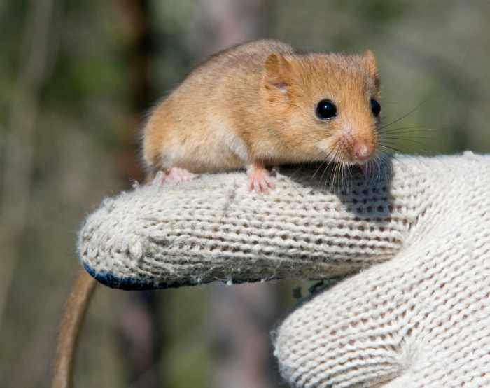 Charming dormouse sits on human finger dressed in glove. Dormice are small rodents and mostly found in Europe.