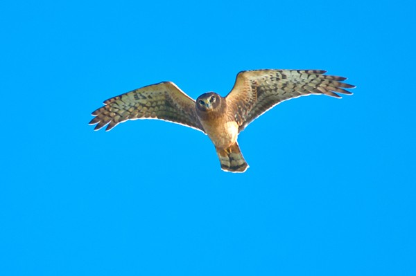 Northern Harrier flying across the sky.