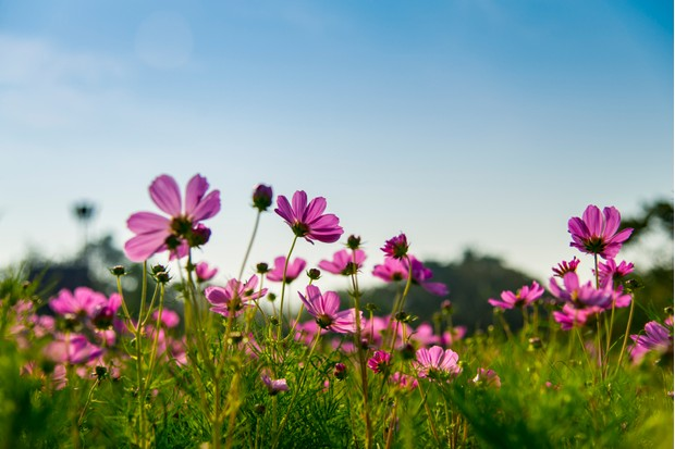Pink cosmos flower in with blue sky6