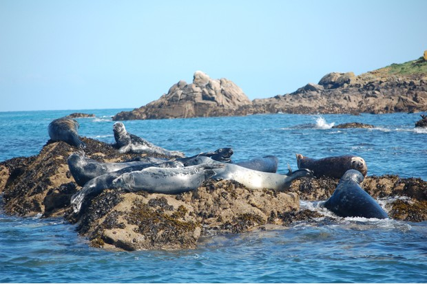 group of atlantic grey seals in scilly isles