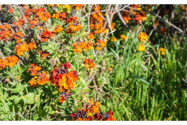 Closeup of sweet-smelling orange wall flowers or Erysimum cheiri in the spring season.