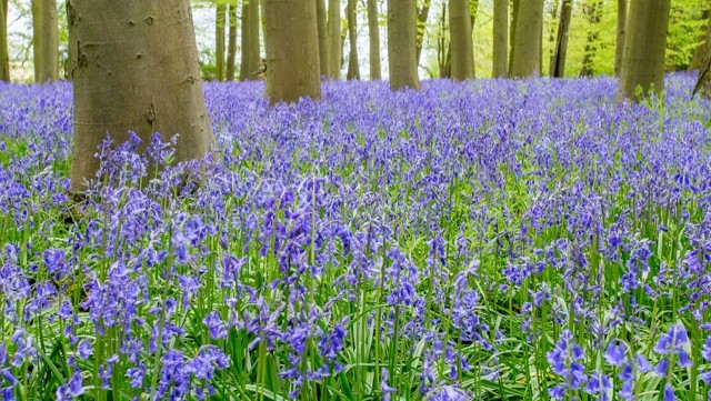 Bluebell Woods In Coton Manor Northampton Uk