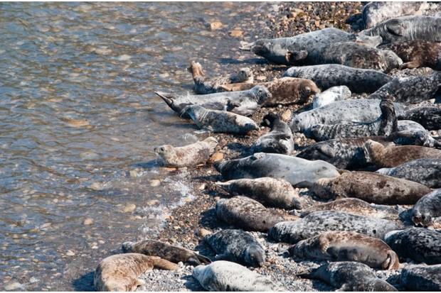 Grey seals, Skomer Island, South Wales
