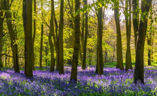 The sun illuminates a carpet of blue and purple bluebells deep in woodland in Oxfordshire