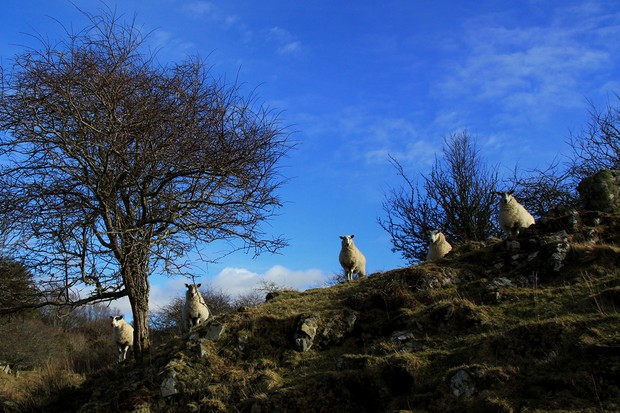 island-diary-sheep-3dc9e26