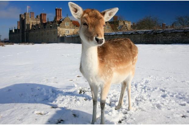 Fallow deer at Knole Park