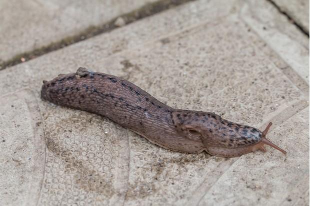 leopard-slug