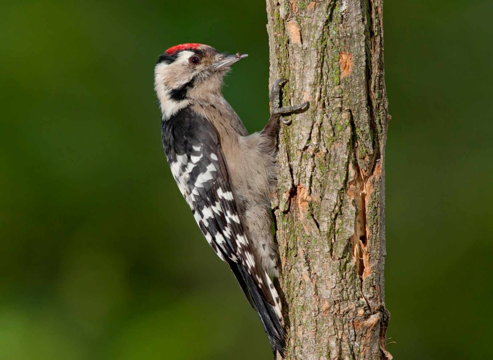 lesser-spotted-woodpecker-396224a