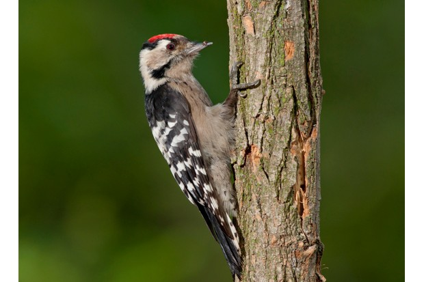lesser20spotted20woodpecker-bdb2231