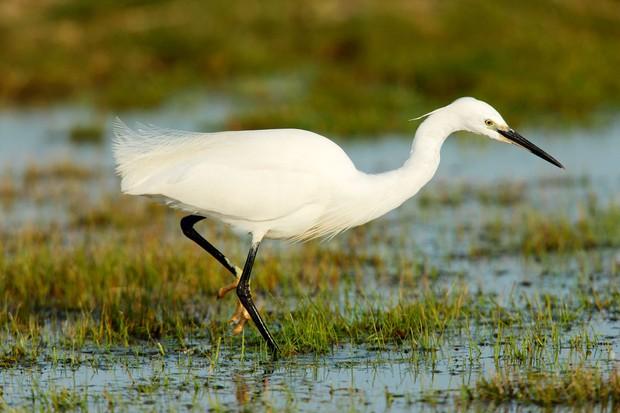little-egret-47c8ef4