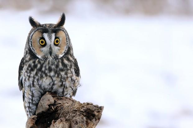 Long-eared owl ©iStock