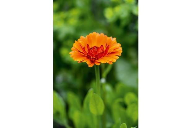 marigold-0576cf6