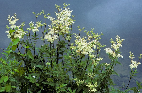 Meadowsweet / mead wort (Filipendula ulmaria) in flower on riverbank. (Photo by: Arterra/UIG via Getty Images)