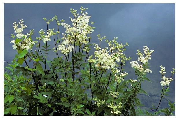 Meadowsweet / mead wort (Filipendula ulmaria) in flower on riverbank. (Photo by: Arterra/UIG via Getty Images)