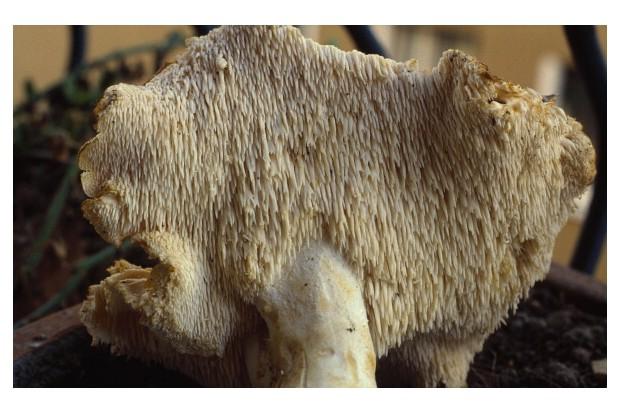 UNSPECIFIED - SEPTEMBER 23: Wood Hedgehog or Hedgehog mushroom (Hydnum repandum), Hydnaceae. (Photo by DeAgostini/Getty Images)