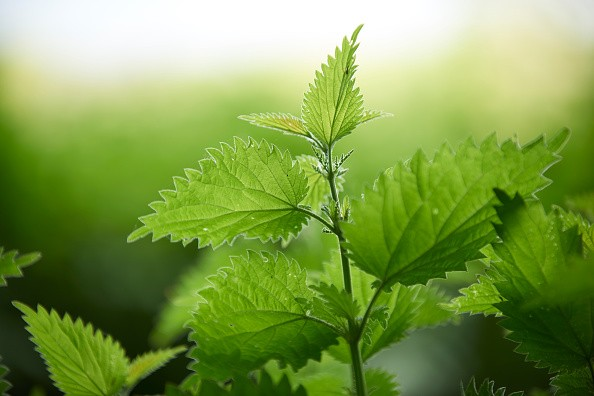 Nettle leaves in a woodland in Dorset, taken on May 19, 2015. (Photo by Simon Lees/PhotoPlus Magazine via Getty Images)
