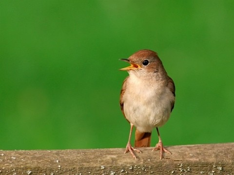 nightingale_main-d9b9613
