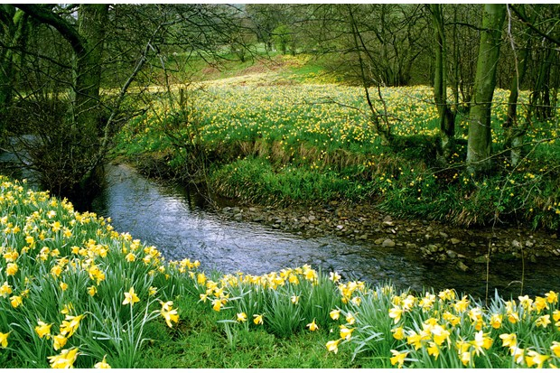 Farndale's daffs were planted by monks in the 12tch century