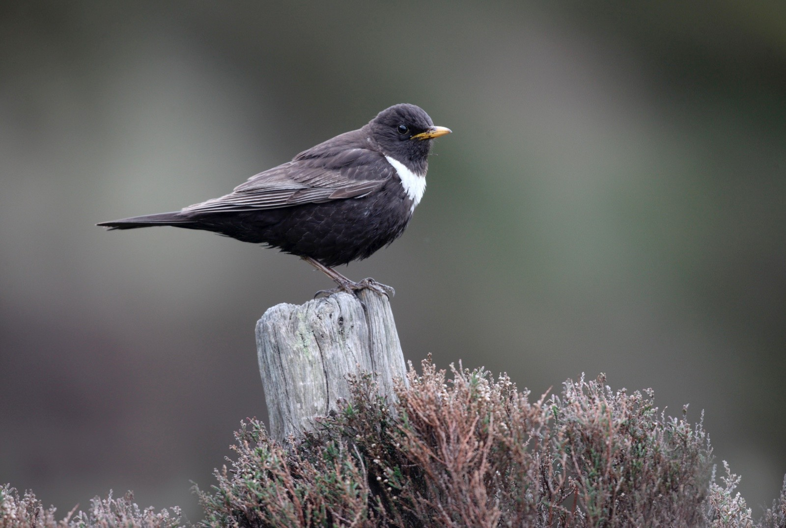 Ring ouzel, Turdus torquatus, male, North Yorkshire, spring