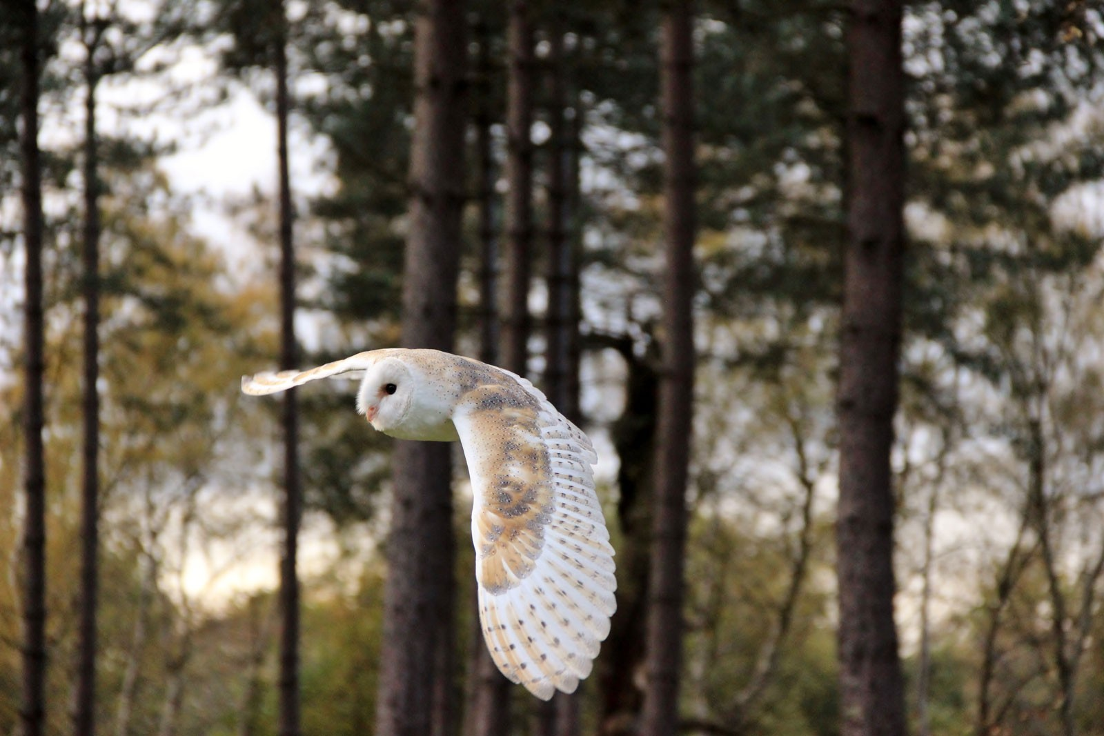 owl-in-flight-9a21448