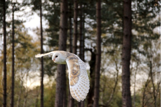 owl-in-flight-9a21448
