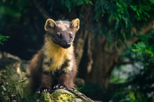 Pine marten martes martes on branch in tree