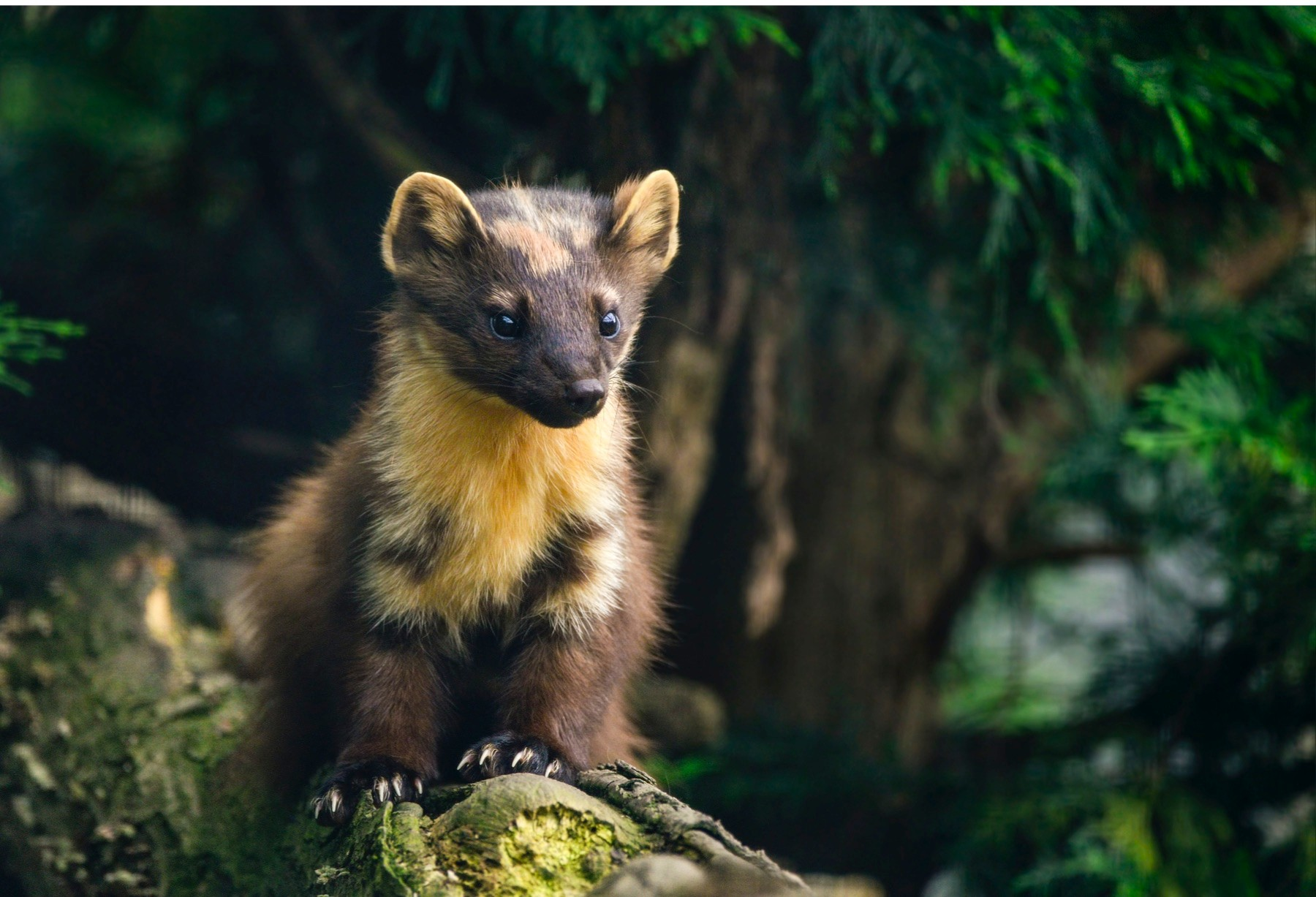 Beautiful pine marten martes martes on branch in tree